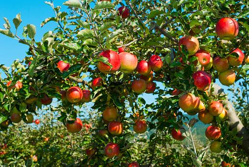 istock Apple orchard 658408066