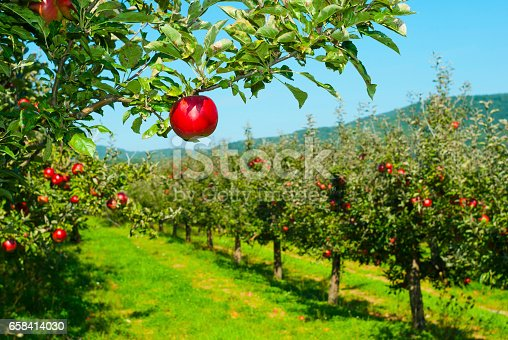 istock Apple orchard 658414030