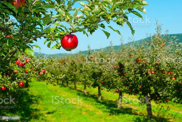 Photo of Apple orchard
