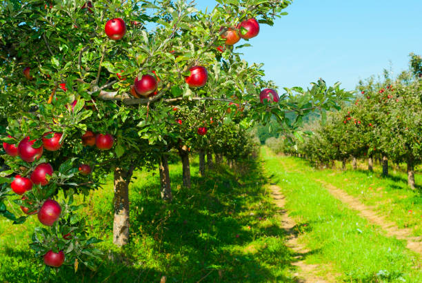 Apple orchard apple trees in a row, before harvest apple orchard stock pictures, royalty-free photos & images