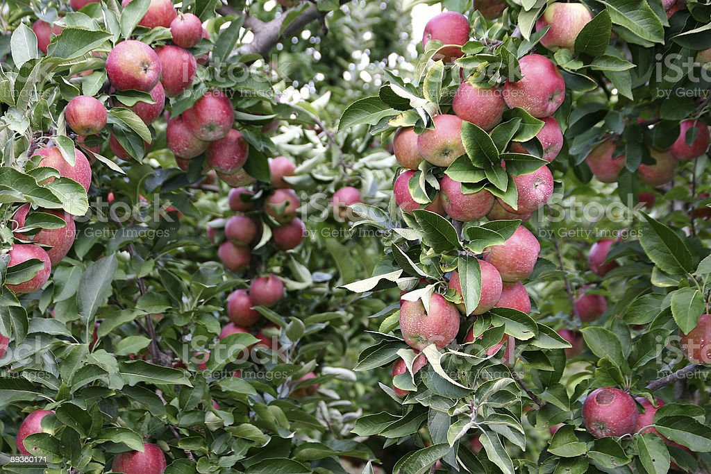 Apple Orchard royalty free stockfoto
