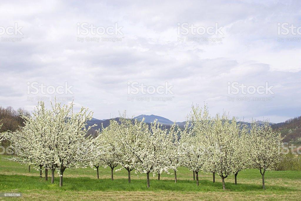 Apple orchard photo libre de droits