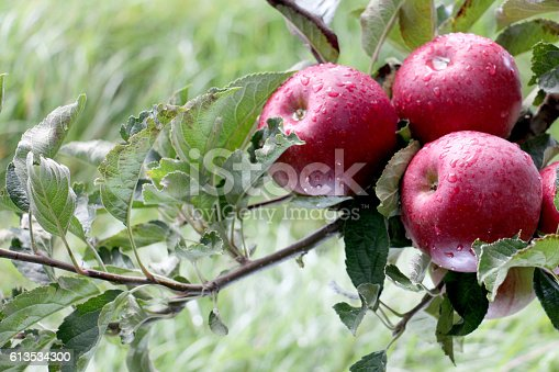 613534346istockphoto Apple Orchard ready for harvest 613534300