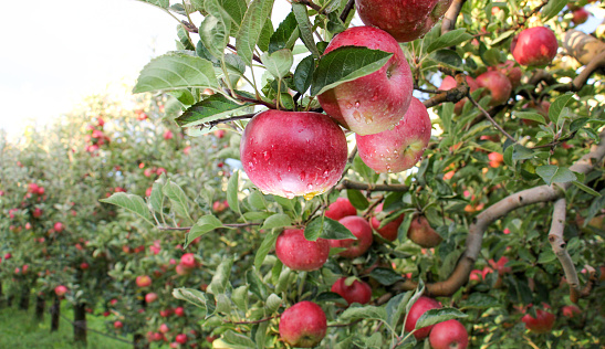 istock Apple Orchard ready for harvest 613534346