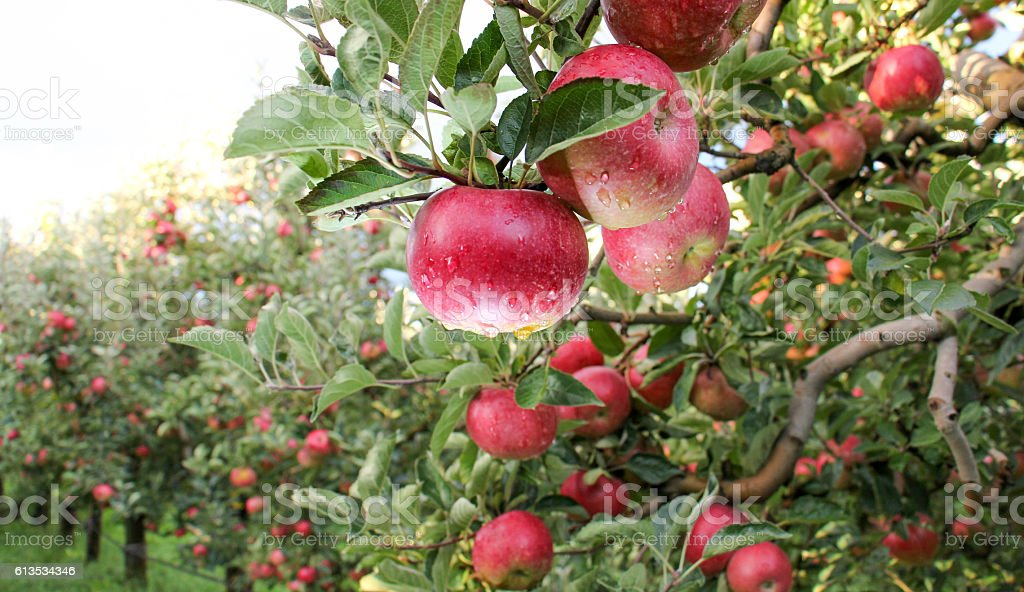 Apple Orchard ready for harvest stock photo
