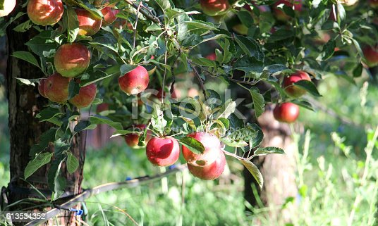 613534346istockphoto Apple Orchard ready for harvest 613534352