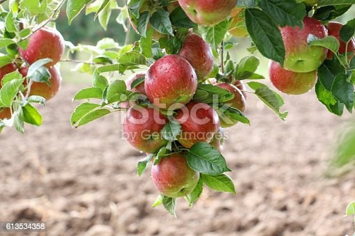 613534346istockphoto Apple Orchard ready for harvest 613534358