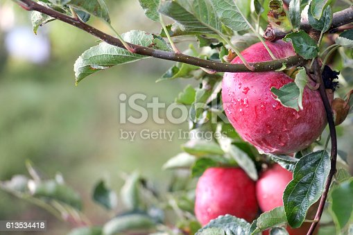 613534346istockphoto Apple Orchard ready for harvest 613534418