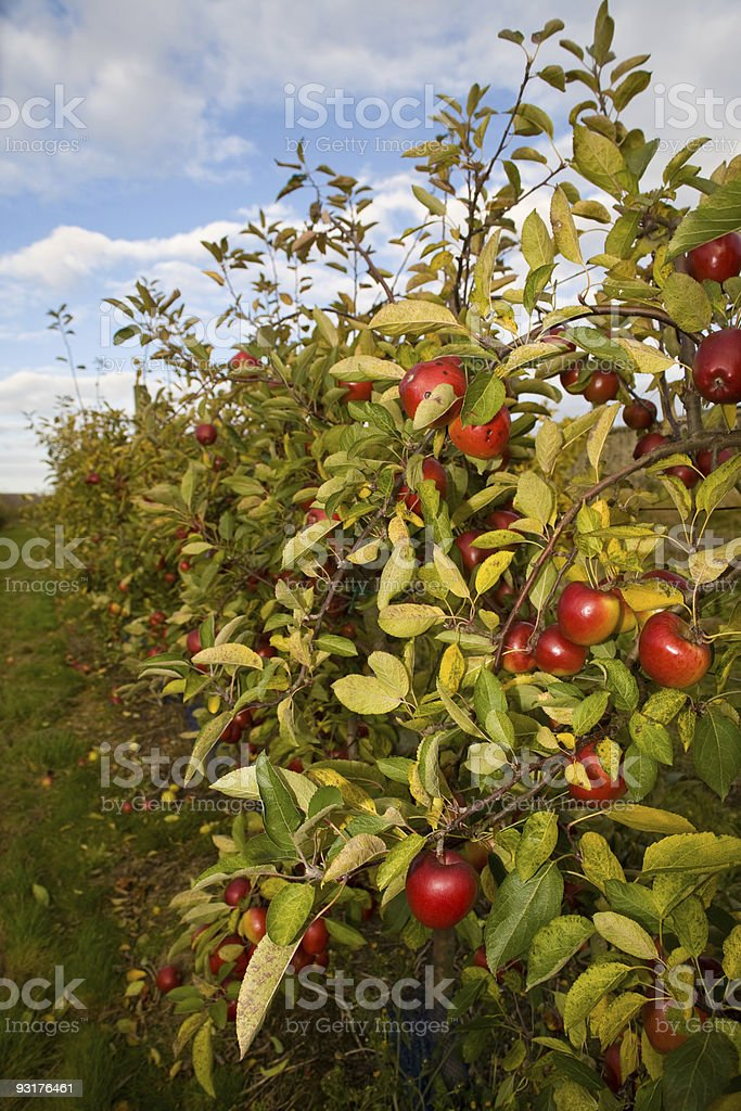 Apple Orchard Sky Clouds stock photo