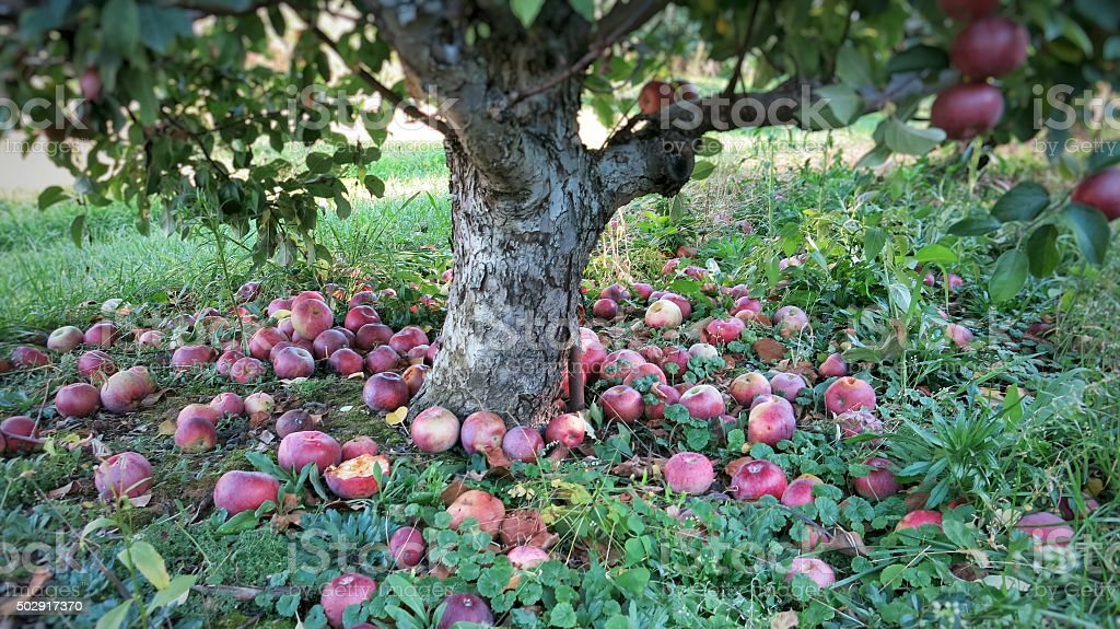 Apple Orchard Tree Trunk Red Fallen Apples On Ground Royalty Free Stock Photo