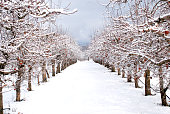 apple orchard under the snow, winter landscapei mage