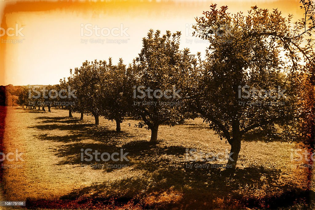Apple Orchard - Vintage Photo royalty-free stock photo
