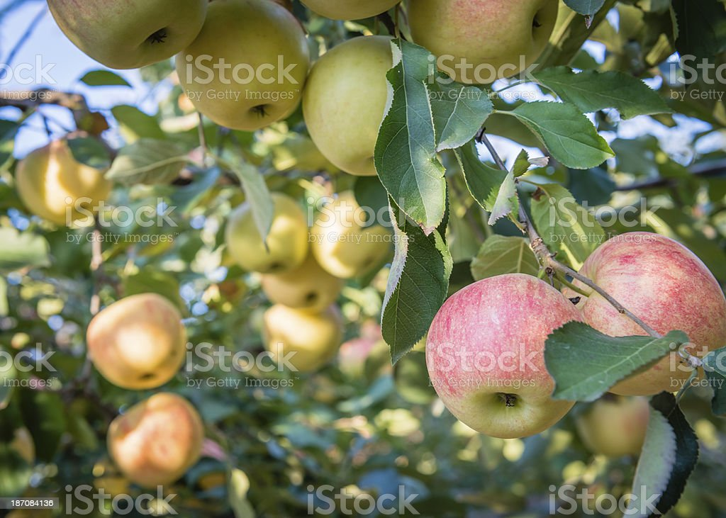 Apple orchard with apples on branches royalty-free stock photo