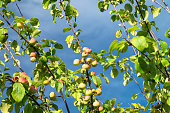 The Apple orchard with branch and apple on background blue sky. Natural background with ripe fruit