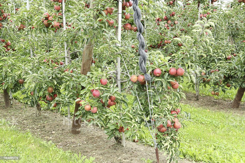 Apple Orchard With Hail Protection Nets Stock Photo