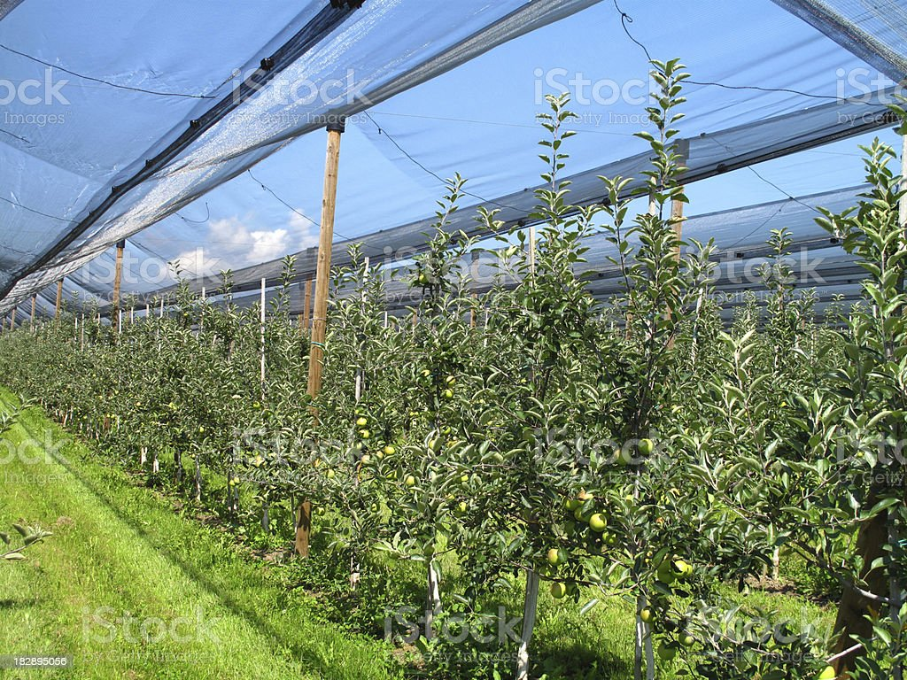 Apple orchard with hail protection nets royalty-free stock photo