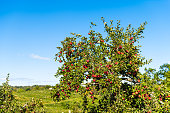 Apple orchard with large tree and hanging red fruit in garden in autumn fall farm countryside in Virginia with green leaves and rolling hills