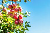 Apple orchard with tree branch closeup of pink lady fruit bunch hanging in garden in autumn fall farm countryside in Virginia, USA isolated with green leaves blue sky