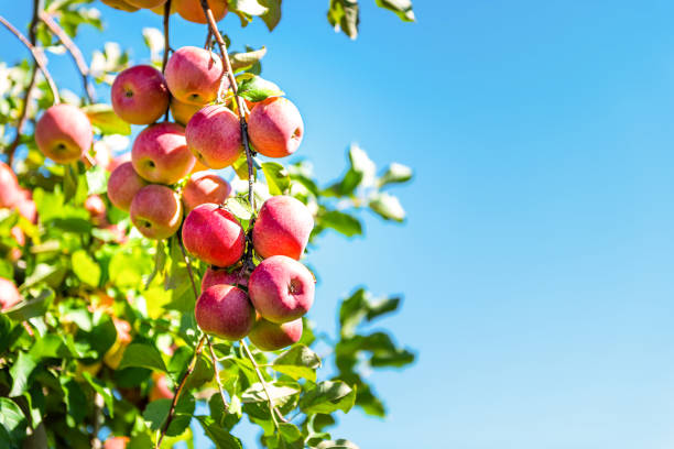 Apple orchard with tree branch closeup of pink lady fruit bunch hanging in garden in autumn fall farm countryside in Virginia, USA isolated with green leaves blue sky stock photo