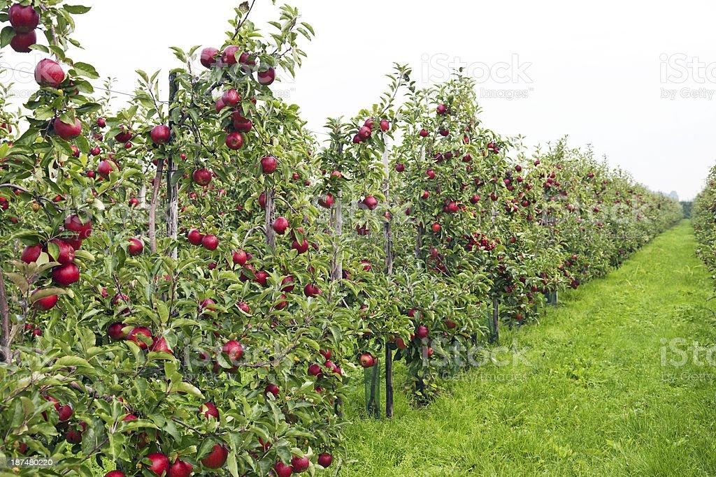 Apple orchard # 128 XXXL royalty-free stock photo