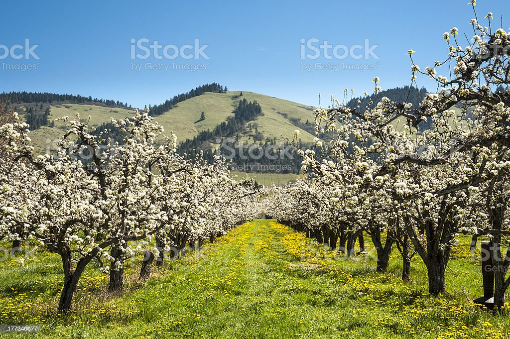 Apple orchards in spring stock photo