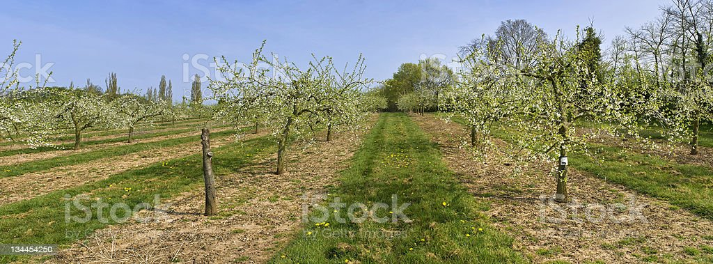 apple orchards royalty-free stock photo