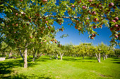 Fresh apples growing on a tree in an orchard.