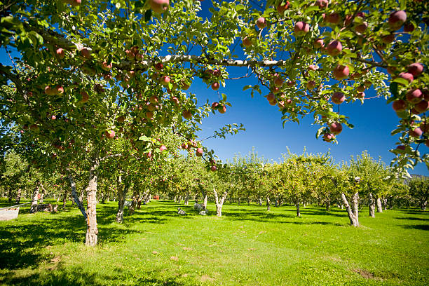 Apple Orchards Fresh apples growing on a tree in an orchard. apple orchard stock pictures, royalty-free photos & images