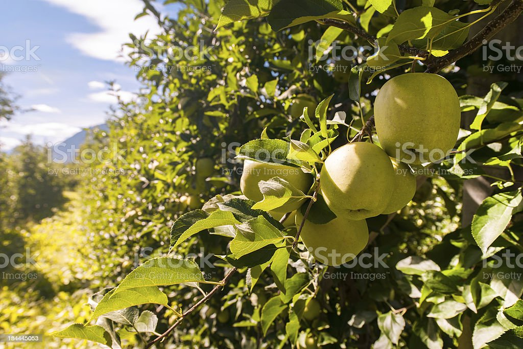 Apple Orchards – Foto