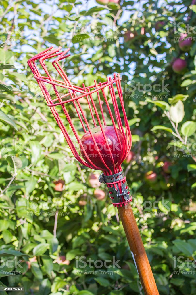 Apple Picker with Red Apple stock photo