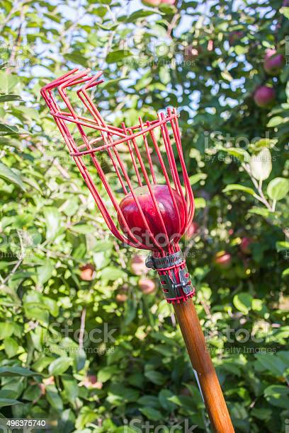 Apple Picker With Red Apple Stock Photo - Download Image Now