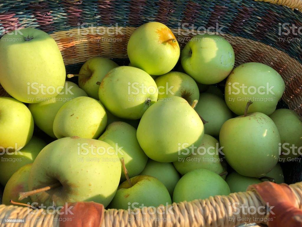 Apple Picking Harvest stock photo