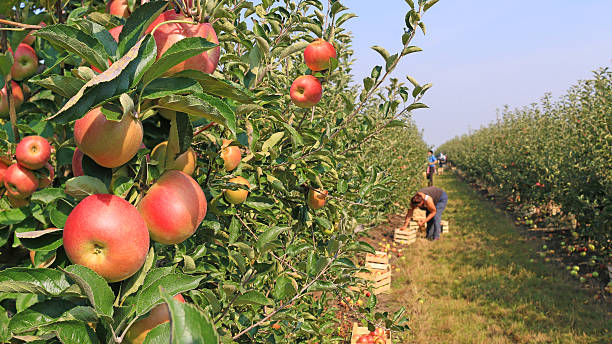 Apple picking in orchard Apple picking in orchard cultivated land stock pictures, royalty-free photos & images