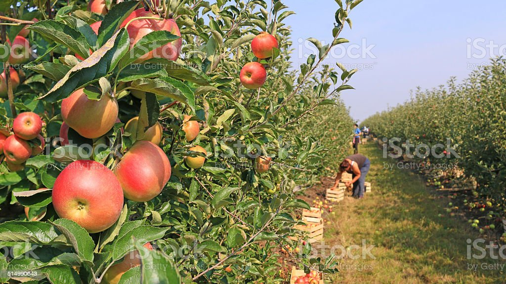 Apple picking in orchard stock photo