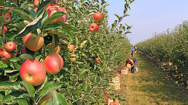 raccogliere le mele nel frutteto - frutteto foto e immagini stock