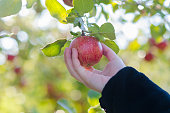 Hand reaching to pick a single apple under an apple tree.