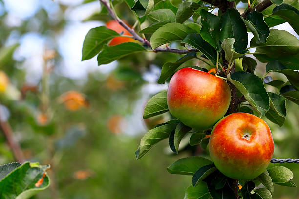 Apple Apple. apple orchard stock pictures, royalty-free photos & images