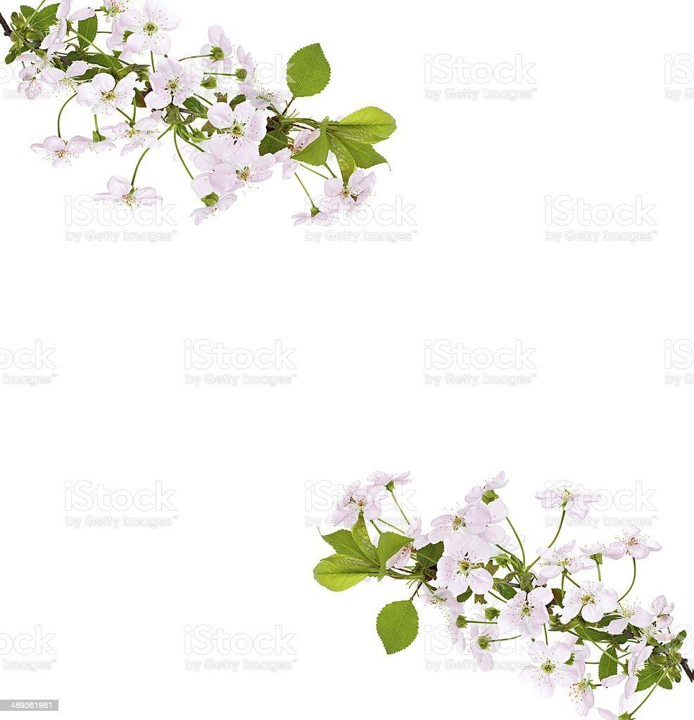 Apple Ramo Di Fiori Rosa Su Sfondo Bianco Fotografie Stock E Altre