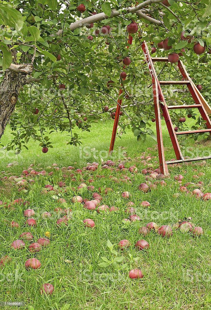 Apple season royalty-free stock photo
