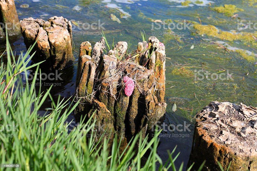 Apple snail eggs stock photo