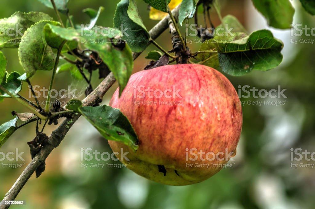 Apple. Summer garden. foto stock royalty-free