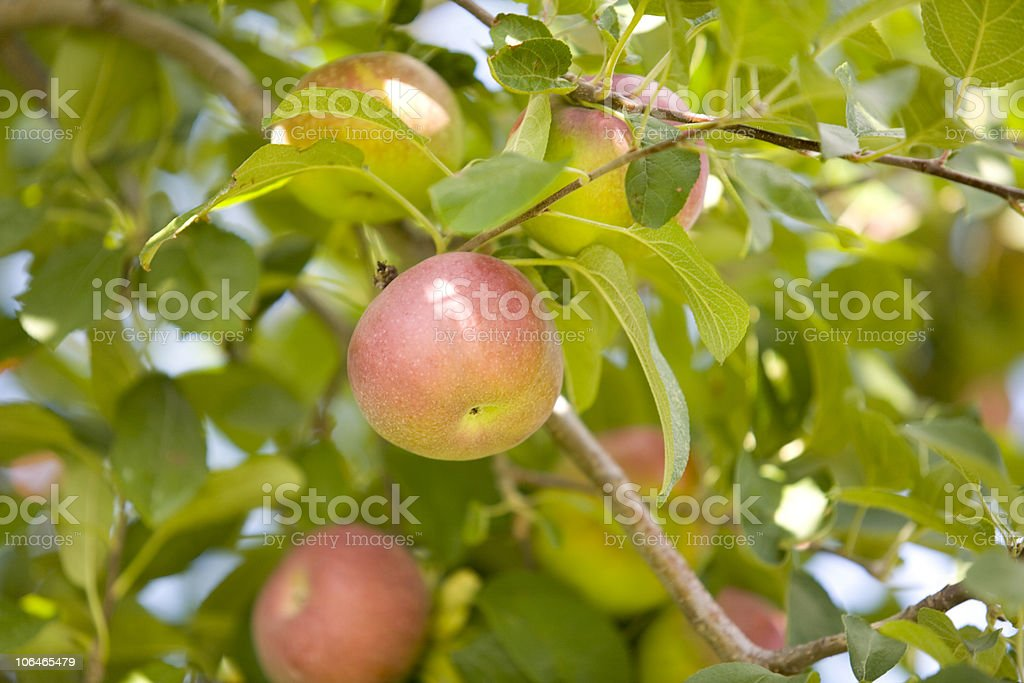 Apple Time royalty-free stock photo