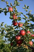 Differential Focus across a lovely ripe Apple Tree.Full Summer Sun.