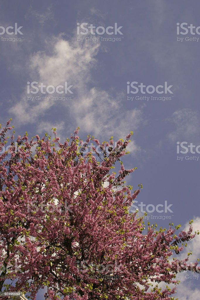 apple tree bloom royalty-free stock photo