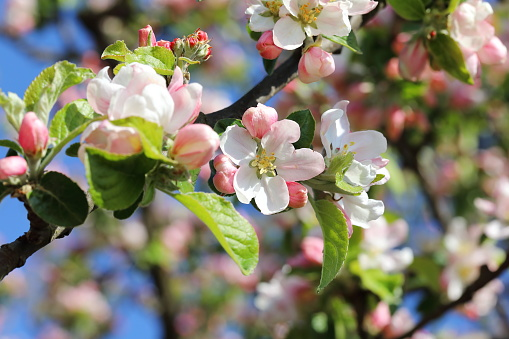 Apple tree blooming flower in the spring