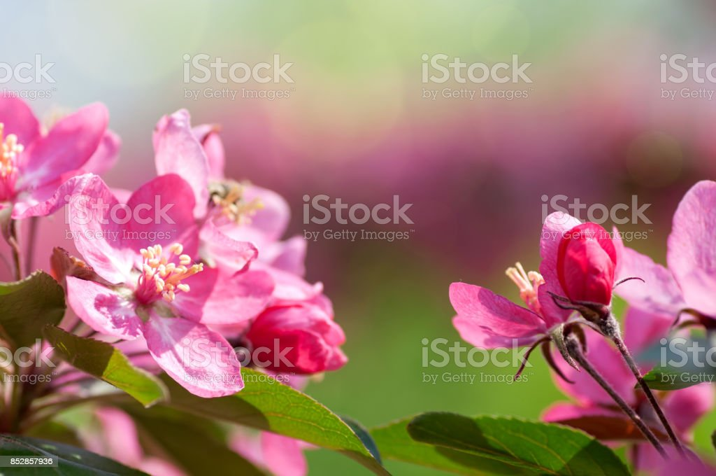 Apple tree blooms red flowers in nature stock photo