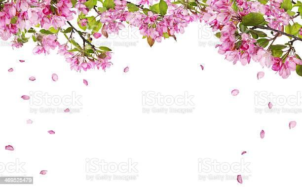 Apple tree blossom branches and falling petals picture id469525479?b=1&k=6&m=469525479&s=612x612&h=e7tqvyaguesxg6mr6v1x7wo9rgzrxgqod5dmvhqkvjk=