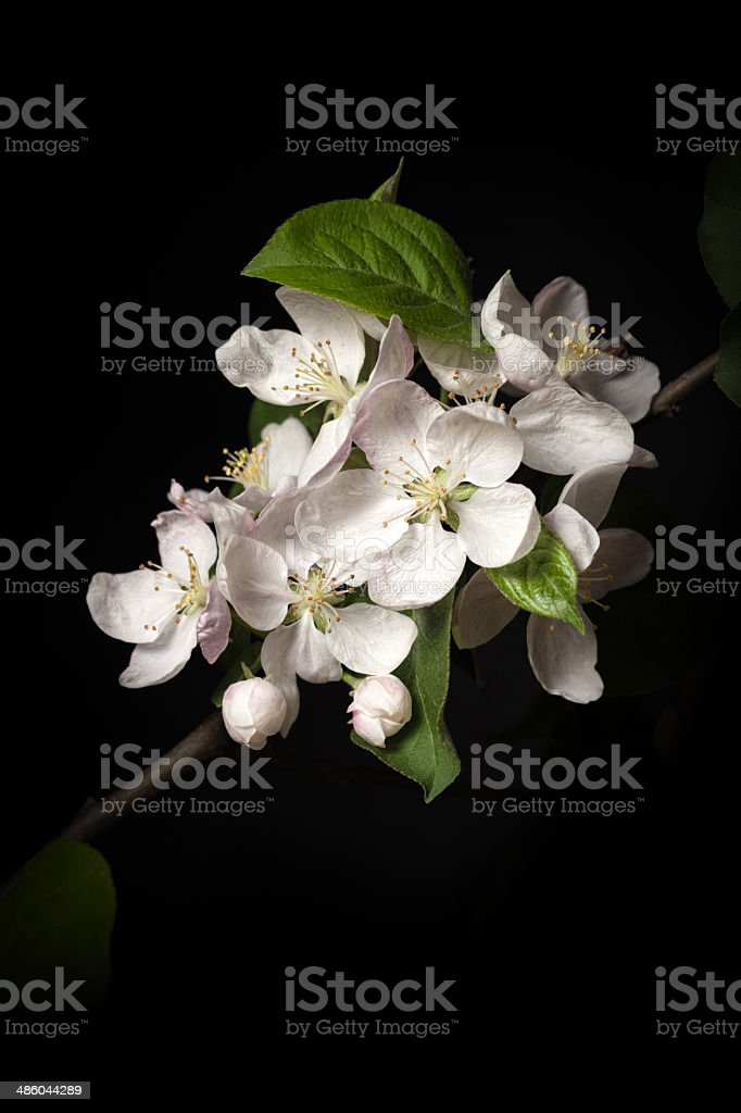Apple tree blossom isolated on black background stock photo