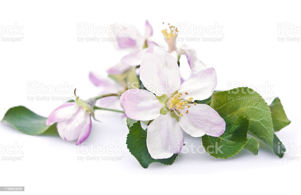 apple tree blossom royalty-free stock photo