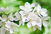 istock Apple tree blossom 157291663